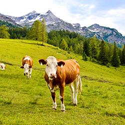 Austrian Cows