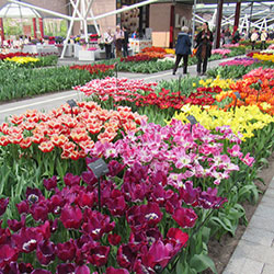 An Introduction to Keukenhof