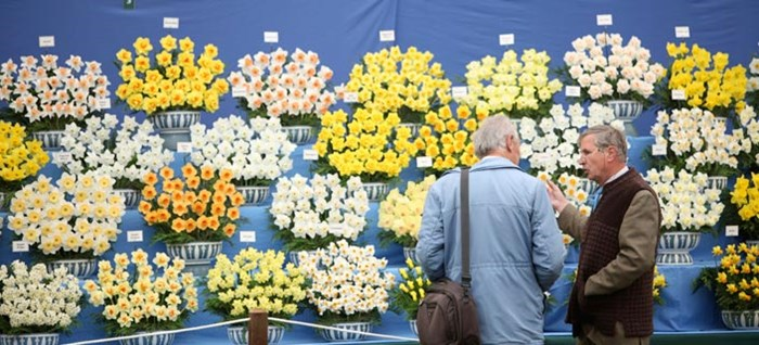 Daffodil Display in the Great Pavilion