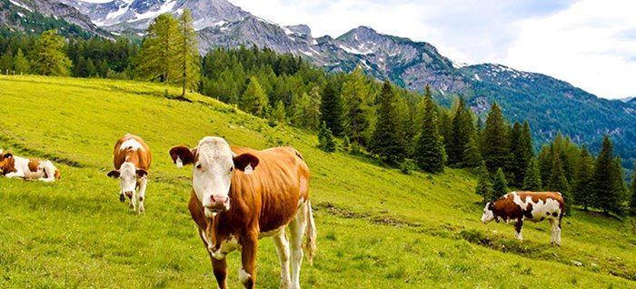 Cows in Alpine Meadow, Austria