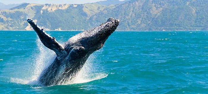 Humpback whale, Kaikoura, New Zealand