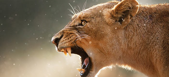 Lioness displays dangerous teeth during light rainstorm