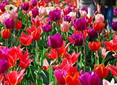 You do not want to miss the colourful blooming displays at Keukenhof